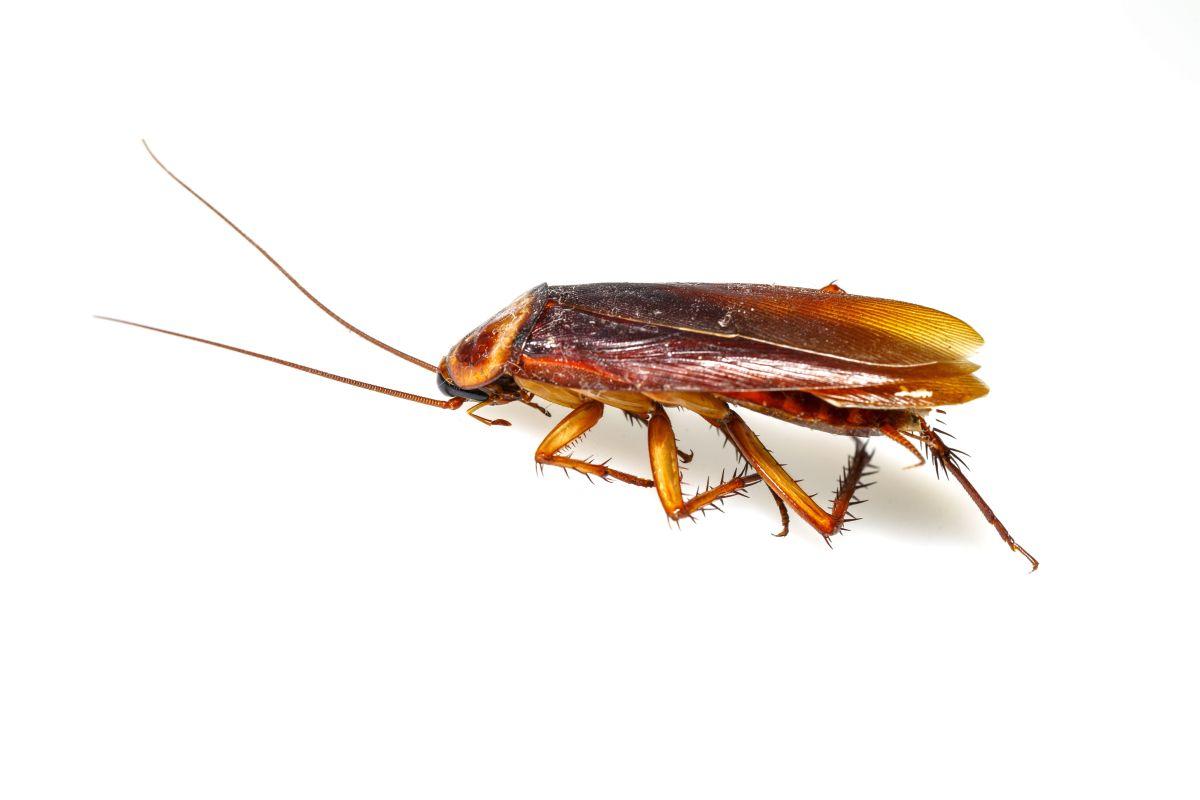 Blatte De Cuisine Photo romanswiller 67310 : désinsectisation cafards blattes
